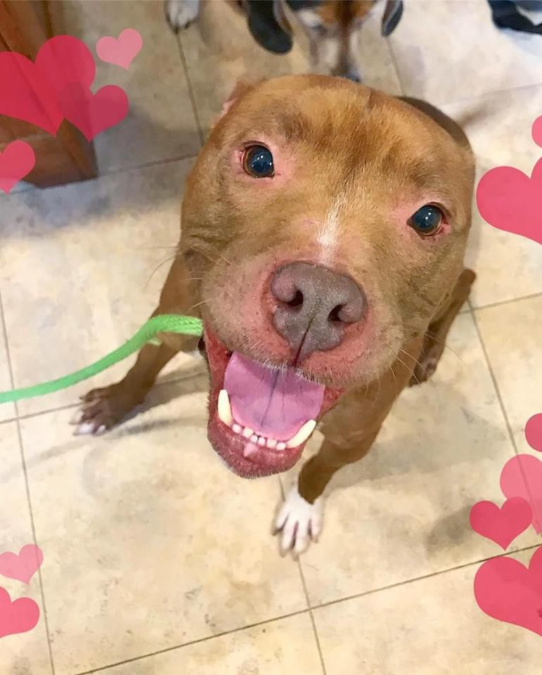Adopt Freddy On With Images Pitbull Terrier Pets Pet Adoption