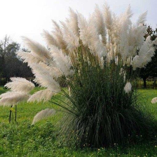 CORTADERIA SELLOANA WHITE FEATHER (ERBA DELLA PAMPAS) [Vaso Ø17cm]