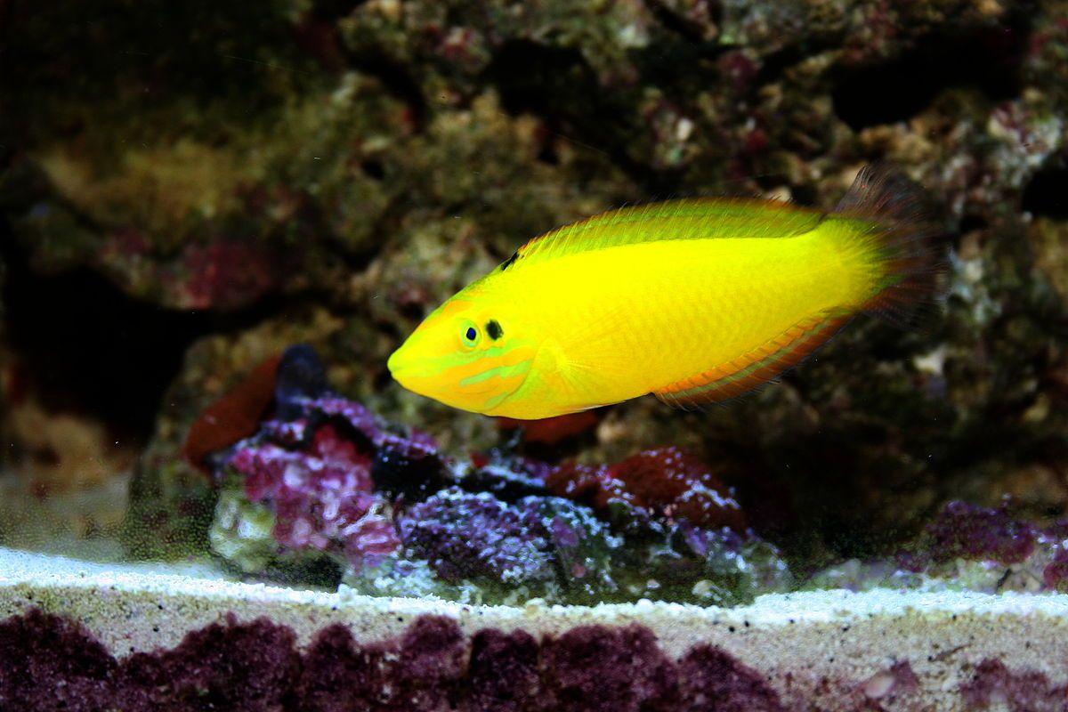 Harem Yellow Wrasse Halichoeres Chrysus Wrasse Marine Reserves Saltwater Tank
