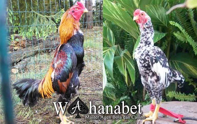 81 Gambar Ayam Shamo Asli Terlihat Keren