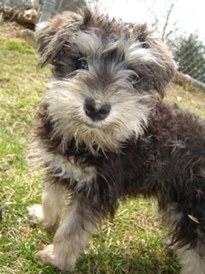 schnoodle  This is the type of puppy im getting for