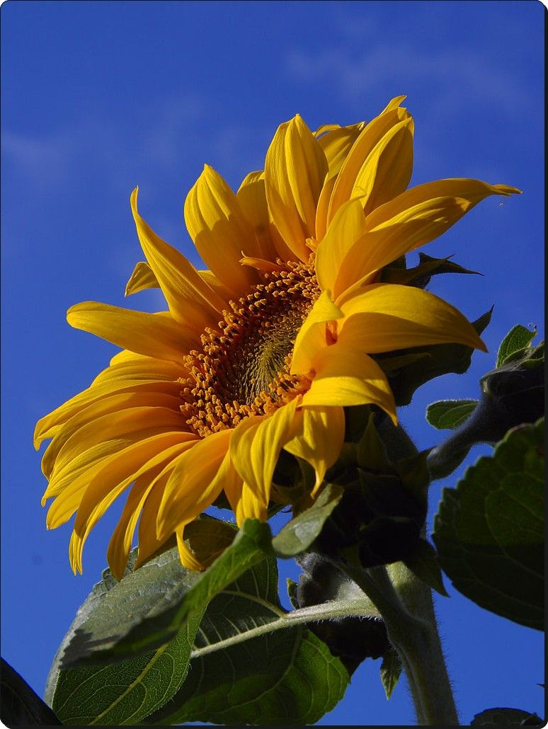 Great for Eating! SunflowerMongolian Giant Largest Sunflower in The World