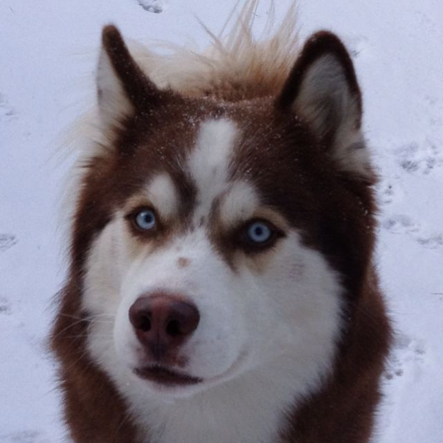 Pure Bread Siberian Husky- Dream Dog.