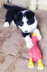 Border Collie Male Purebred Longcoat Puppies Puppies For Sale