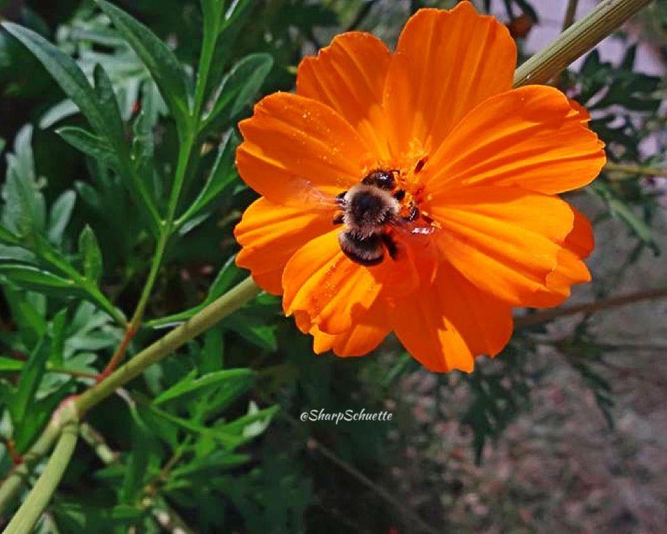 A bumble bee on an orange cosmos.