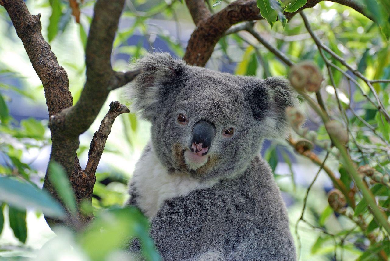 Koala, Australia, Zoo, Koala Bear