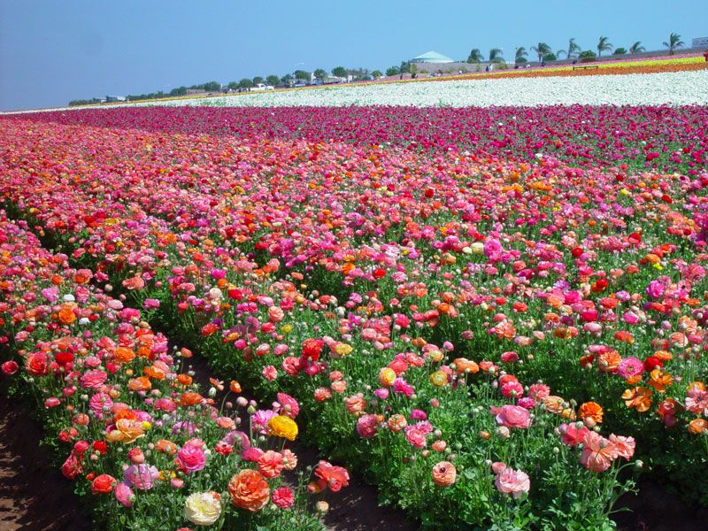 Superieur Noted For Being One Of The Most Beloved Spring Traditions In The Area, The  Flower Fields At Carlsbad Ranch Opens Annually In March For Six To Eight  Weeks ...
