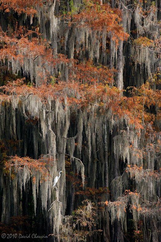 Tree Cypress Autumn Louisiana