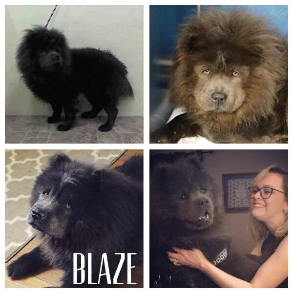 Blaze Is A Gorgeous Blue Chow Available For Adoption Through Palny