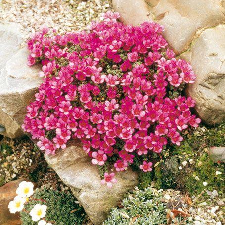roter polstersteinbrech - schattenpflanzen | balkon | pinterest, Best garten ideen