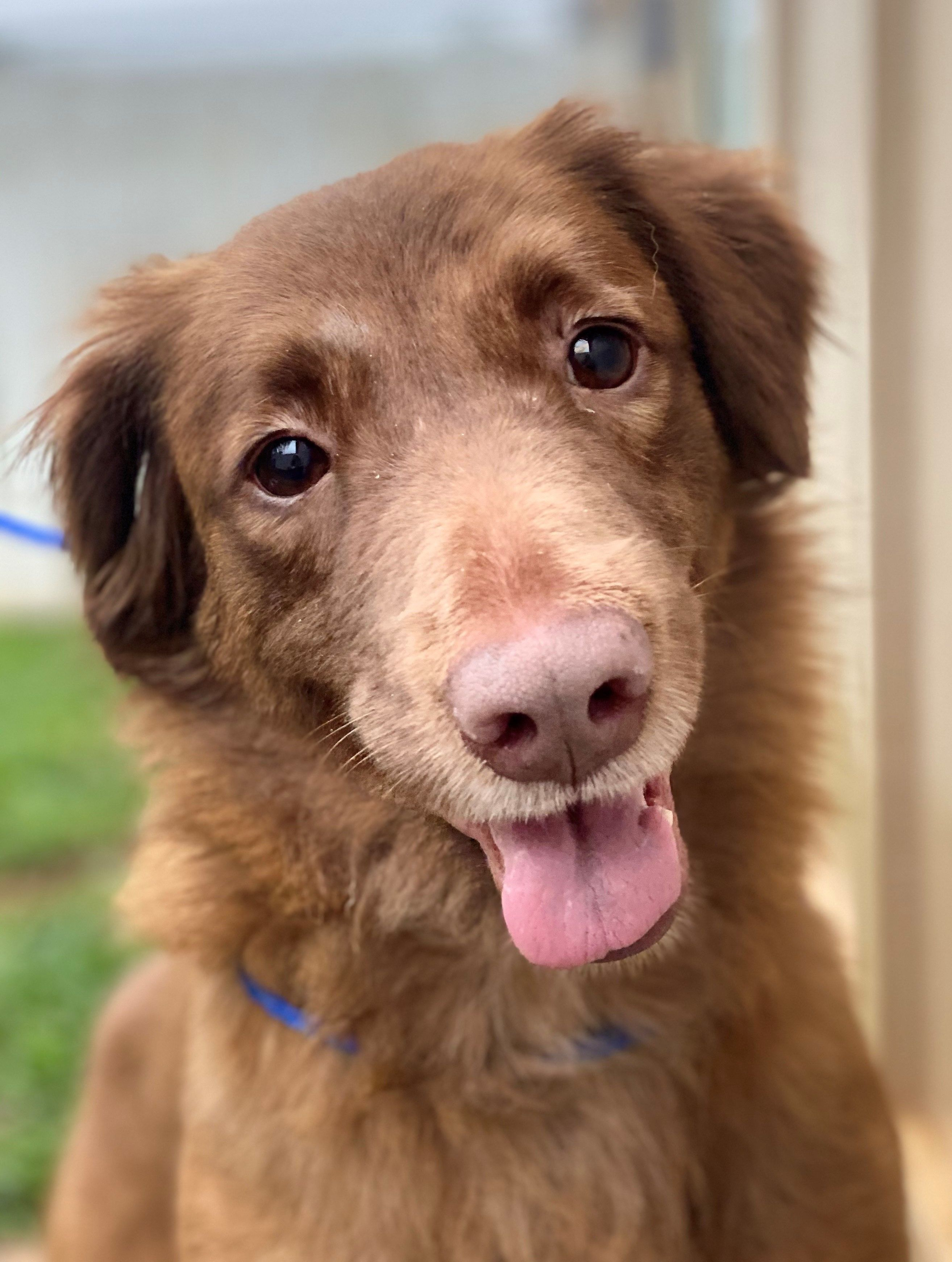 Adopt Crimson on in 2020 Dog adoption, Retriever mix