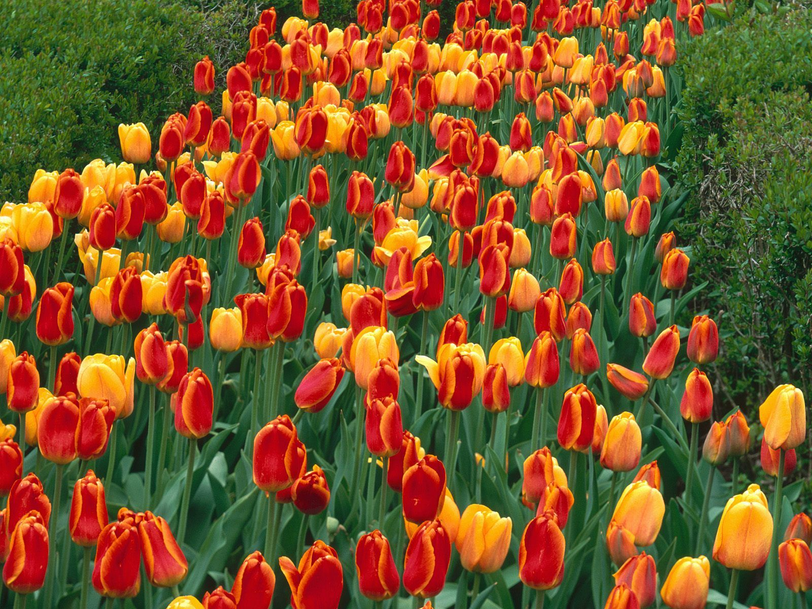 Tulips Beautiful Flowers Images Tulips Plants