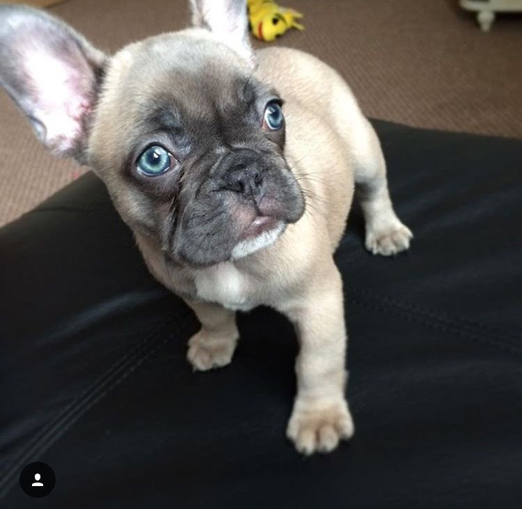French Bulldog Puppy Kc Reg Blue Fawn Stable Girl Pets For Sale