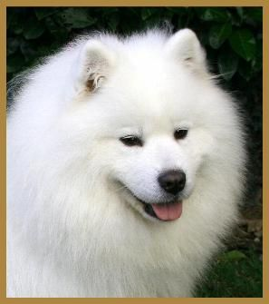 samoyed dog such a beauty of a dog! Yaisha and Anastasia, you are missed <3