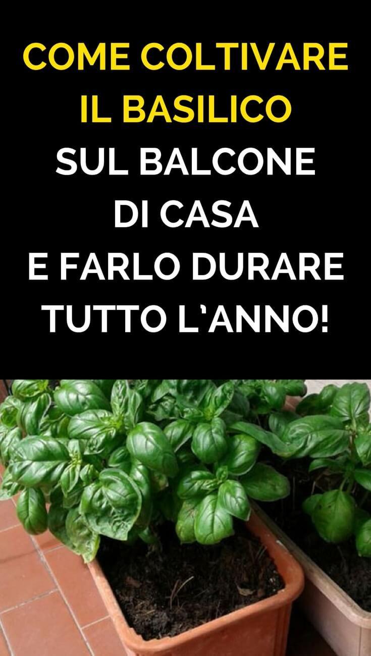 Coltivare In Casa Piante Aromatiche come coltivare il basilico sul balcone di casa e farlo