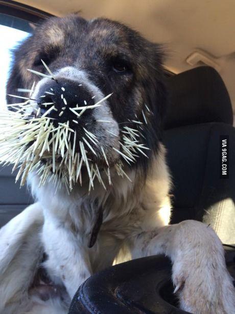 804d88695512075de19b0c6428e83162 - How To Get Porcupine Quills Out Of A Dog