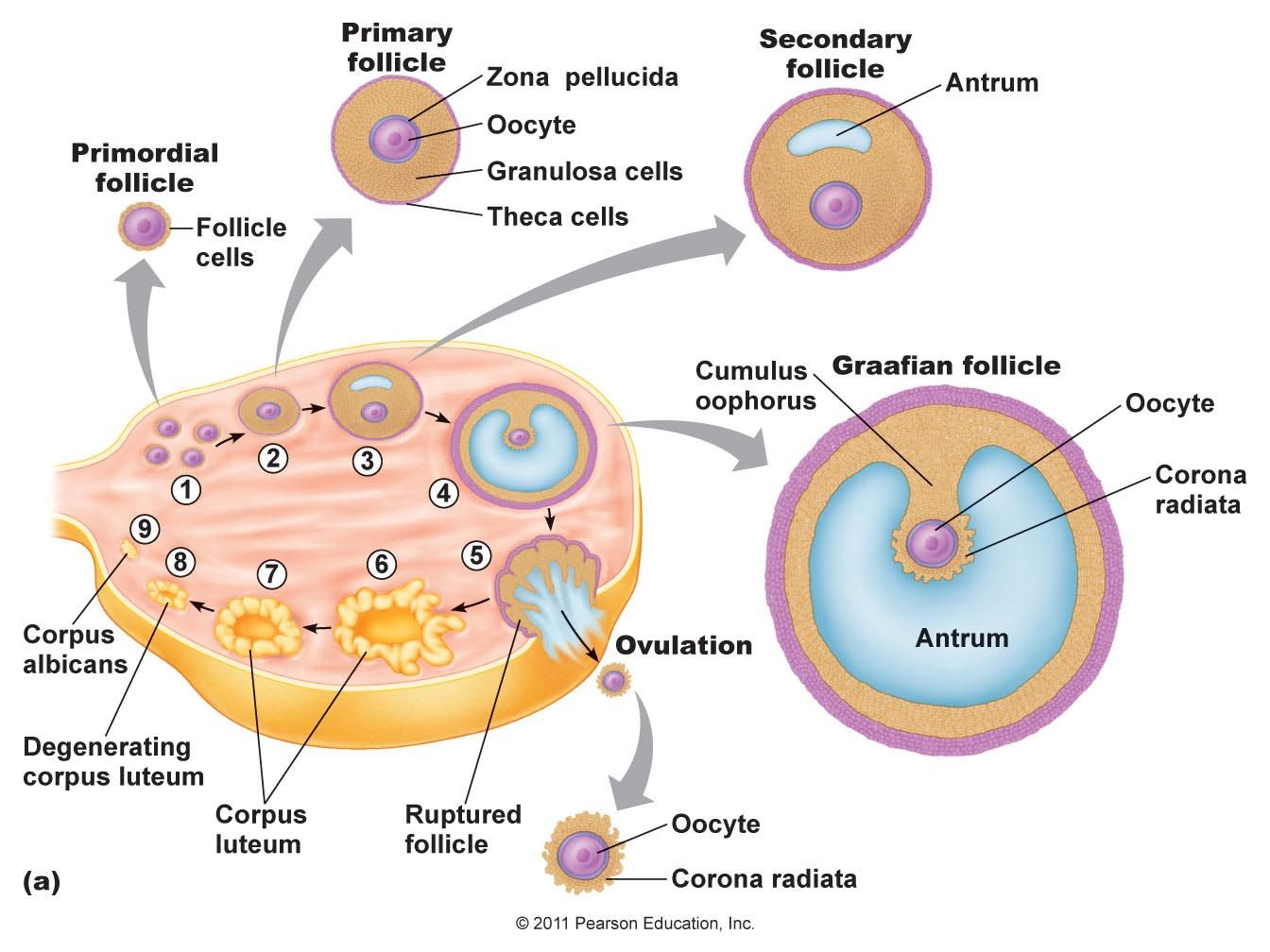 medium resolution of structure of ovary in female labeled structure of ovary human anatomy female reproductive