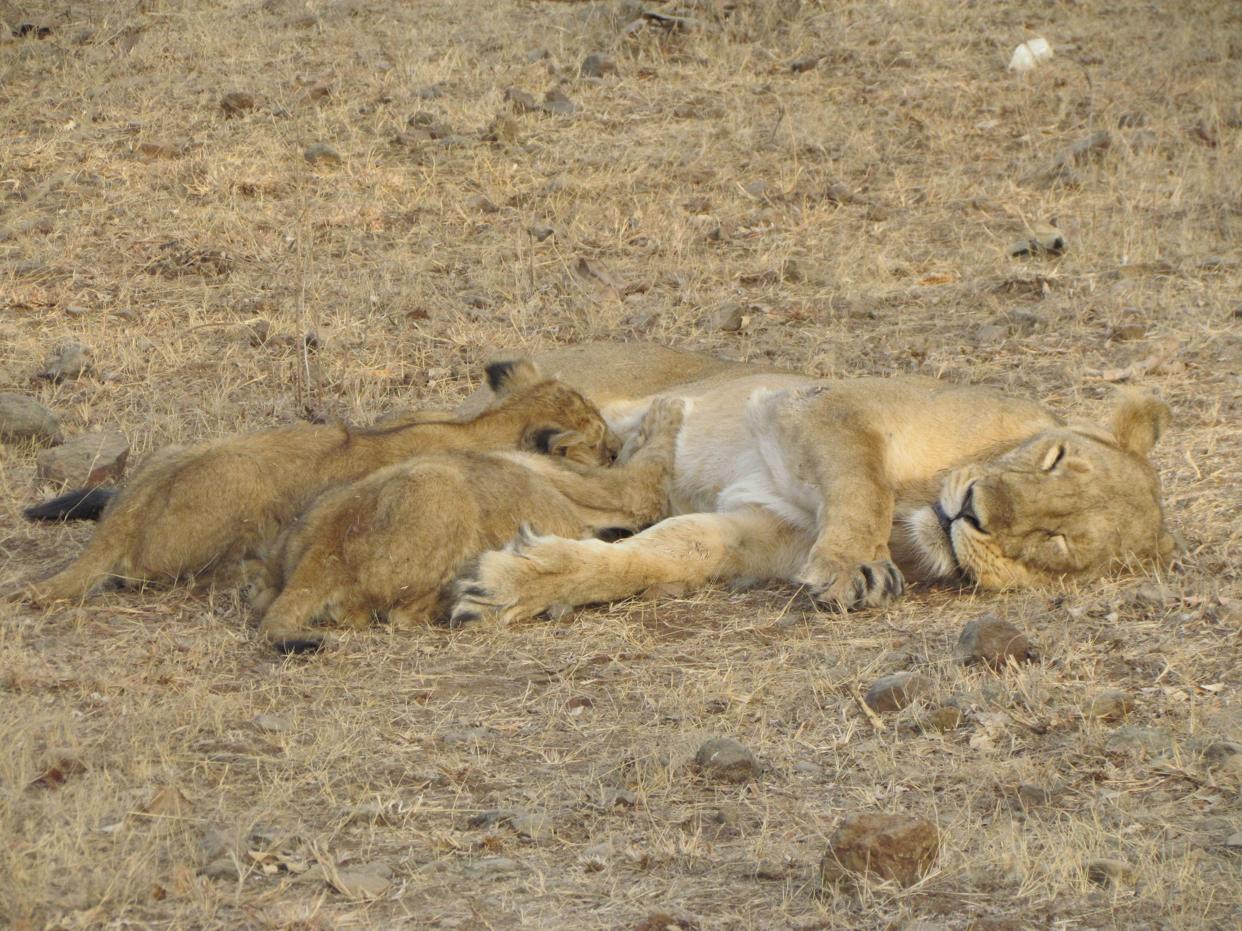 Asiatic Lioness with her Cubs at Sasan Gir National Park in Sasan, Gujarat, India. Sasan Gir National Park can be reached from Ahmedabad or Rajkot Cities by direct Flights from Mumbai and Trains from Mumbai, Delhi etc.