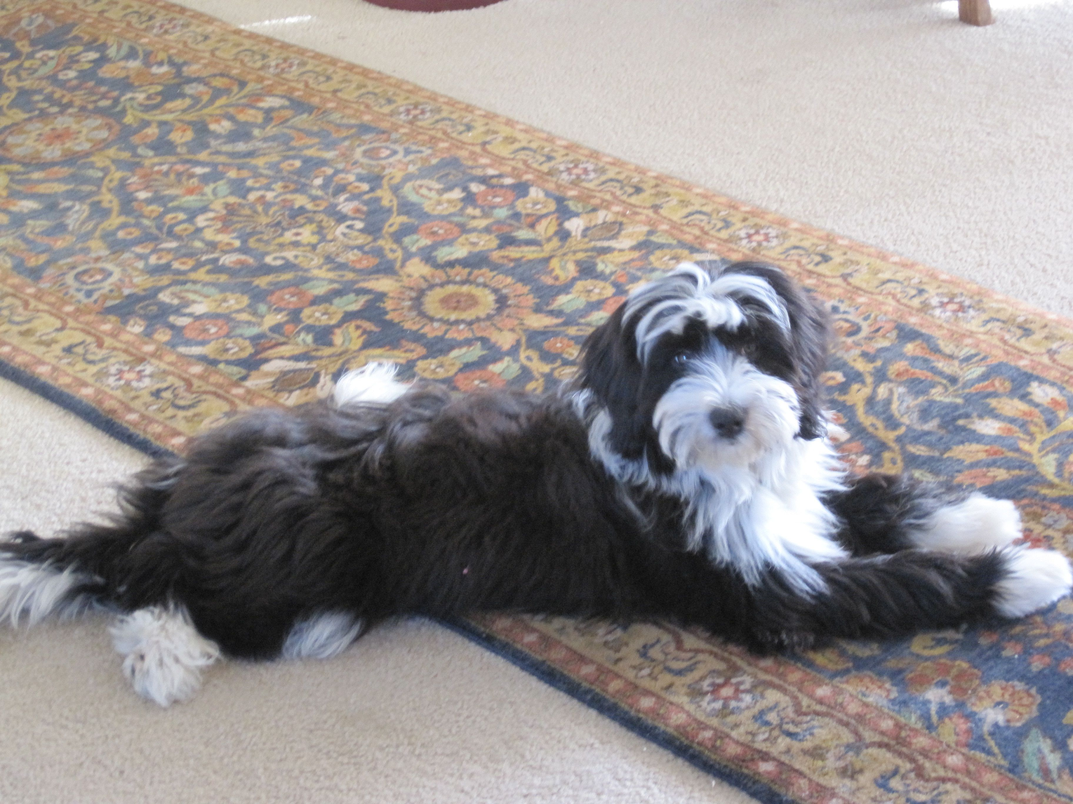 Pin By Build Your Dream Life Today On Tibetan Terriers Tibetan Terrier Dog Cat Terrier