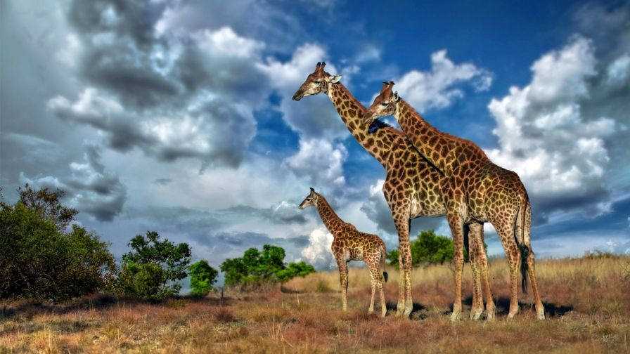 Africa Giraffe Savannah Hd Wallpapers Download Animaux Sauvages Animaux Sauvage