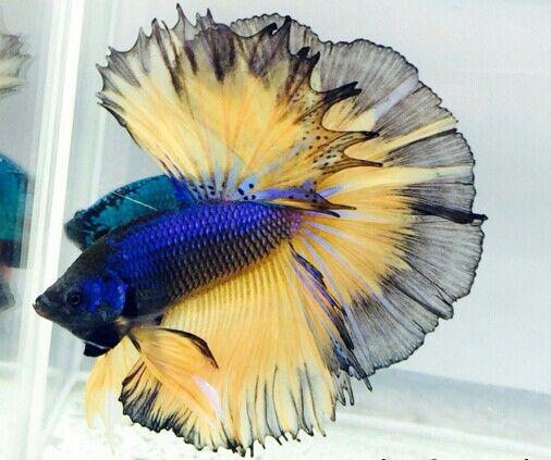 808 Blue black MG HM male