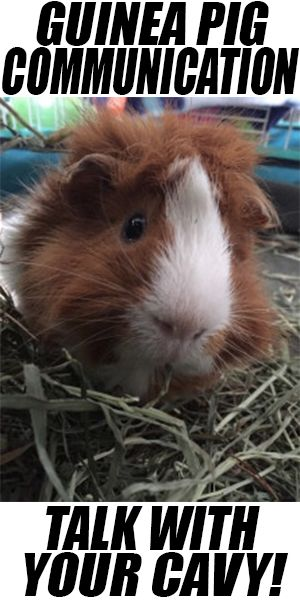 Guinea pig communication: talk with your cavy!