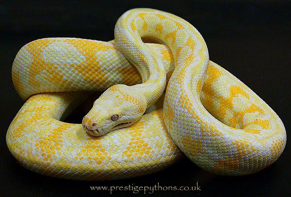 Albino Carpet Python Reptiles and Amphibians Pinterest