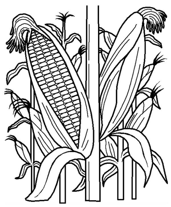 Fruits and Vegetables, : Cornstalk in the Corn Field Coloring Page ...