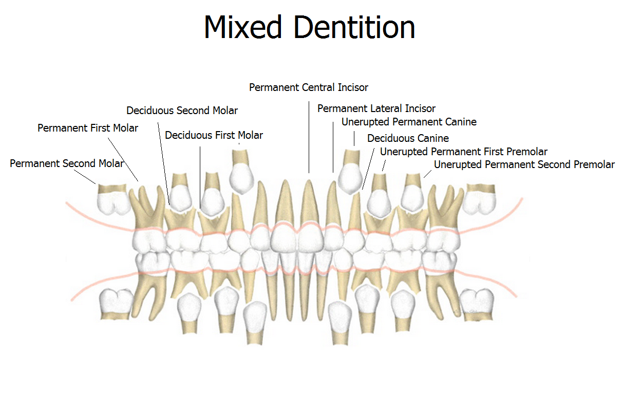 Mixed Dentition Eruption Chart