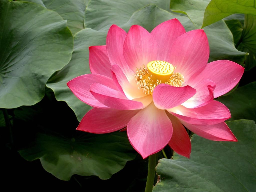 Flower pink lotus flowers flower pinterest lotus aquatic show pink lotus flowers hd wallpaper and picture information about pink lotus flowers lotus flower is one of popular flower in united state izmirmasajfo