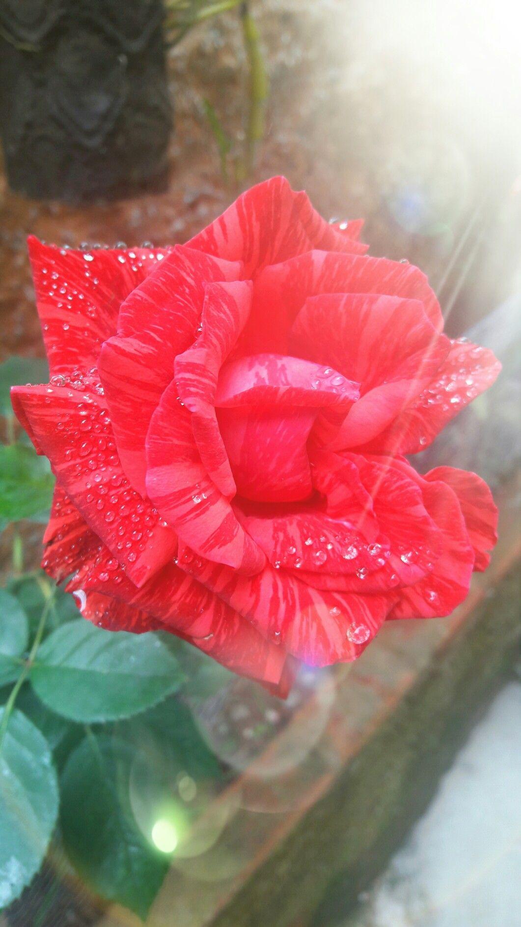 Amo minhas rosas!!!!!