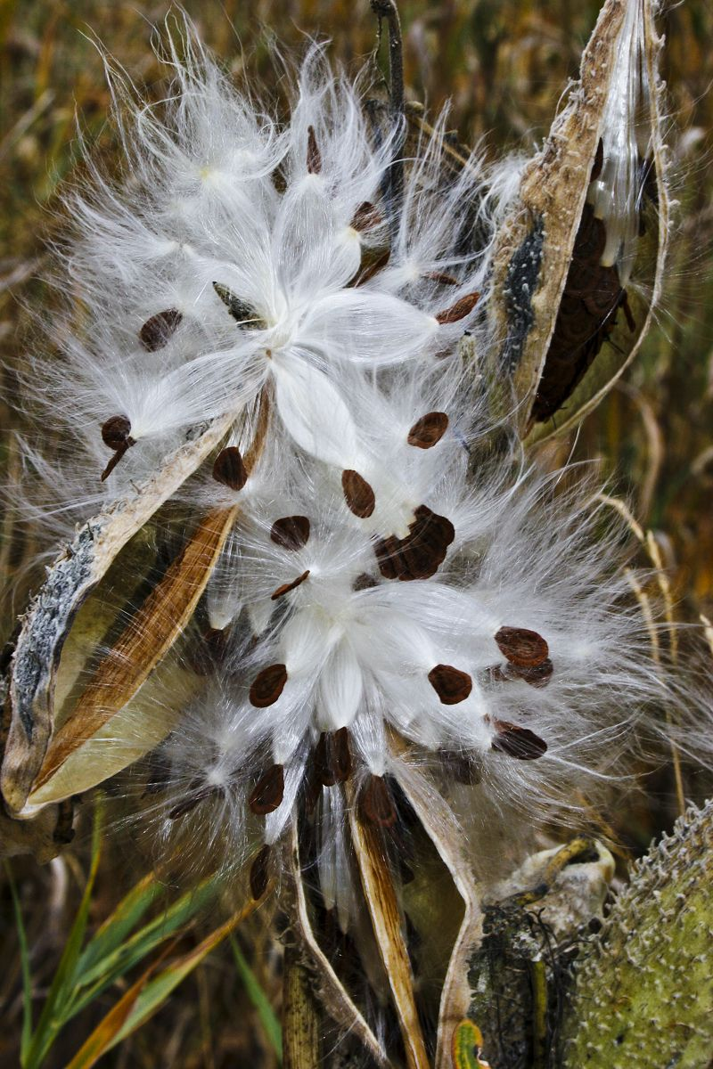 Milk weed seed pods and fluff