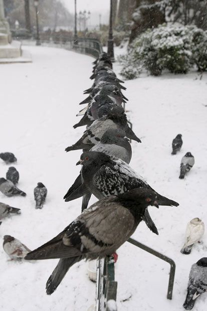 Snow Covered Landmarks And Attractions In Paris France Beautiful Birds Pet Birds Pigeon