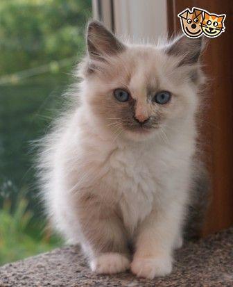 Ragdoll Kitten Full Pedigree Price Reduced Bradford West Yorkshire Pets4homes Ragdoll Kitten Ragdoll Cat Cats