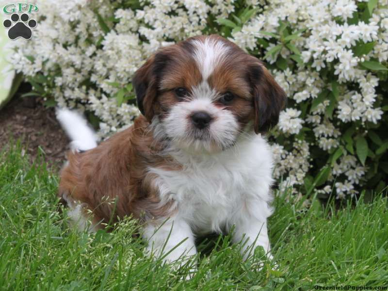 Jimmy Cava Tzu Puppy For Sale In Pennsylvania Puppies For Sale