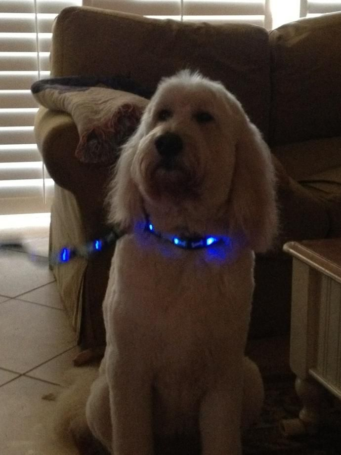 Here S Nellie Showing Off Her Dog E Glow Blue Bones Led Collar