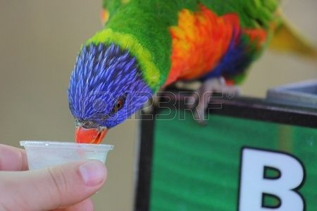 A close up view of a white hand feeding a Rainbow Lorikeet some food