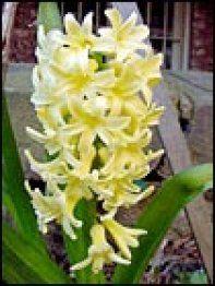 Jacinto, la flor de la constancia