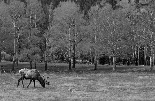 A male elk grazes in the beautiful Rocky Mountain National Park in northern Colorado. The park is located northwest of Boulder, Colorado, in the Rockies, and includes the Continental Divide and the headwaters of the Colorado River.