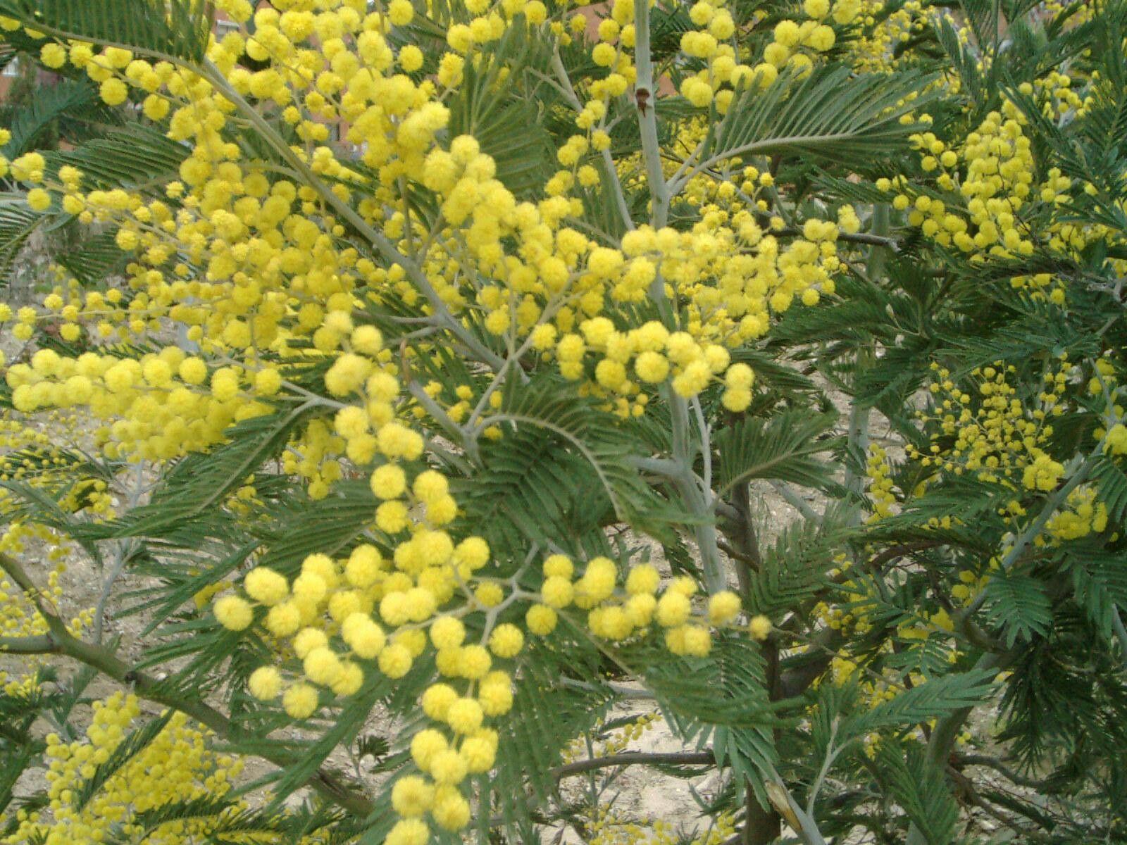 Arbusto A Fiori Gialli pin de design australiano en nature&materials   Árboles en