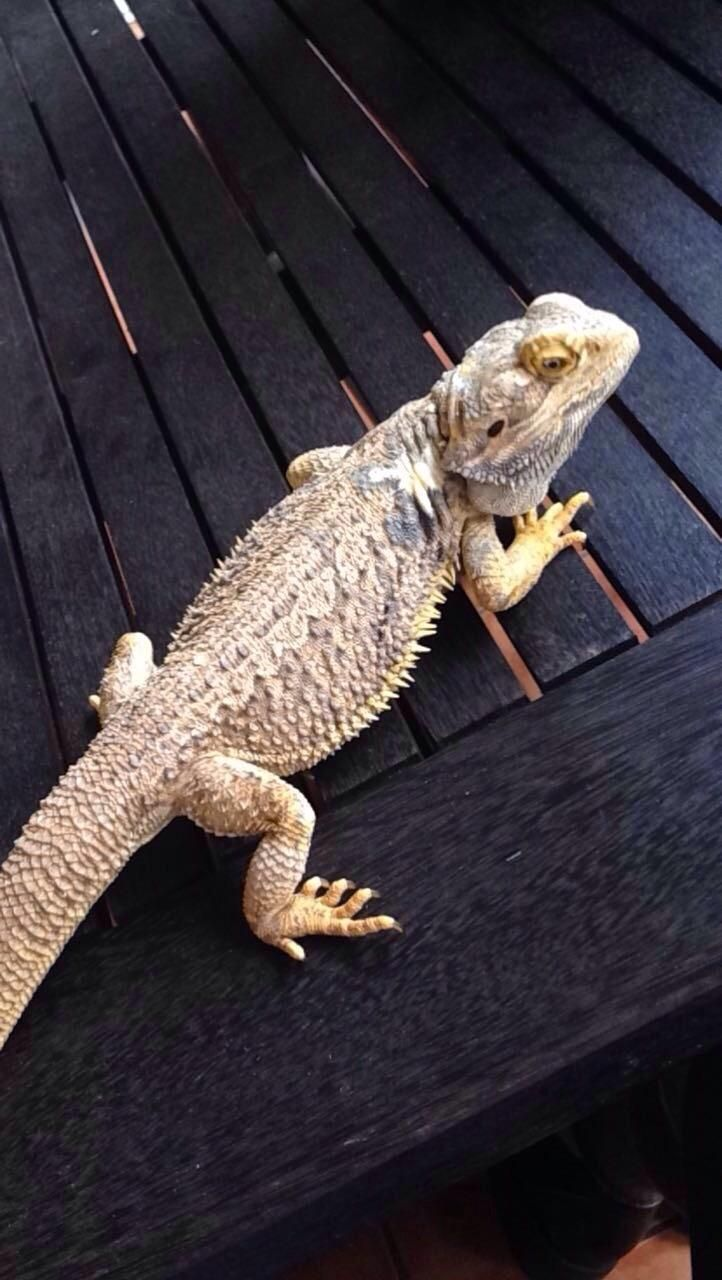 what type of lizard is this found it in my backyard and i have