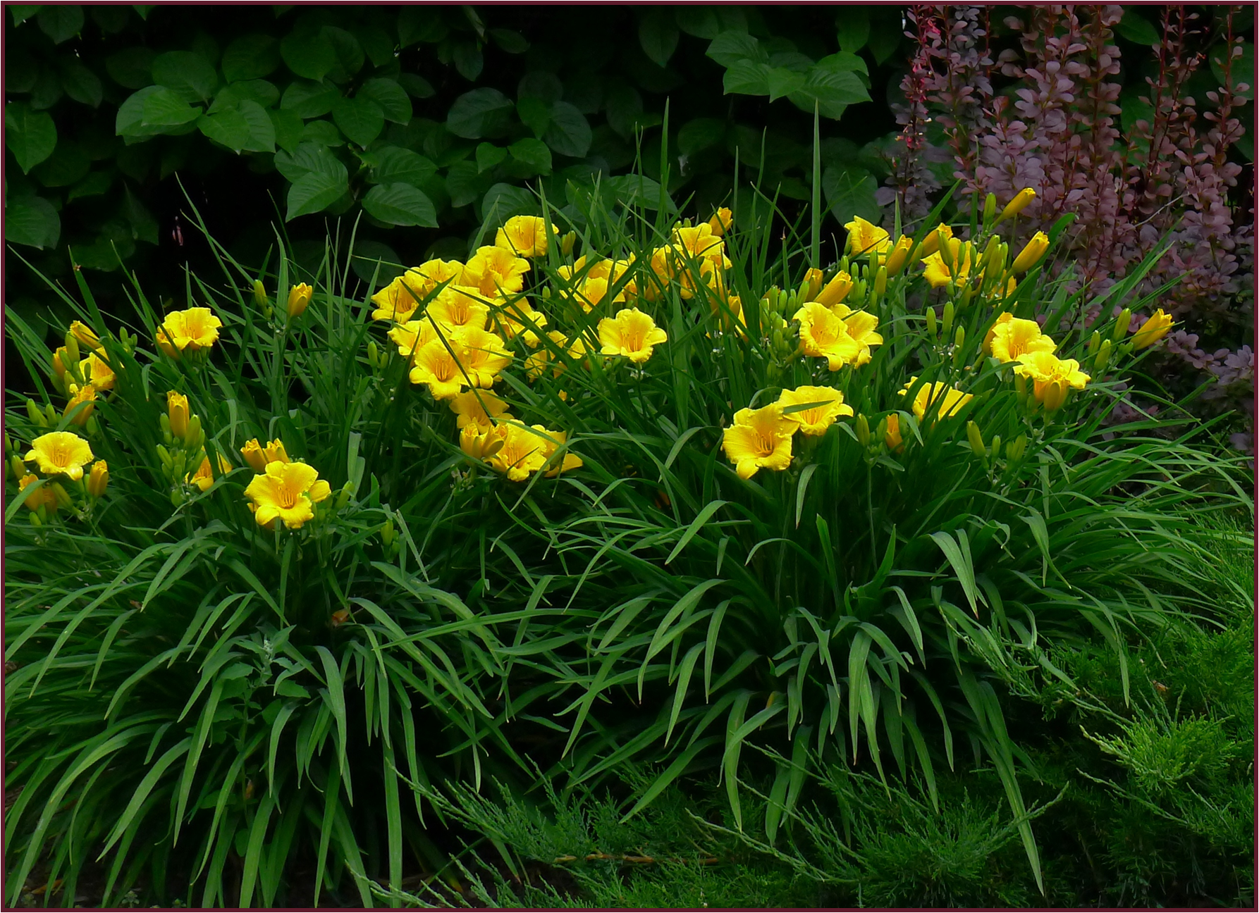 Stella Doro Was The First Ever Reblooming Daylily Cultivar Her