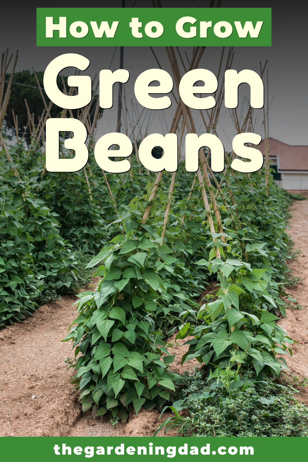 7 Easy Tips Growing Green Beans From Seed The Gardening Dad Growing Green Beans Growing Greens Gardening For Beginners
