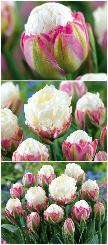 Atemberaubend Schon Und Aussergewohnlich Sind Die Bluten Der Gefullten Spaten Tulpen Ice Cream Gefunden Auf Www Tulpen Garten Tom Garten Krautergarten Design