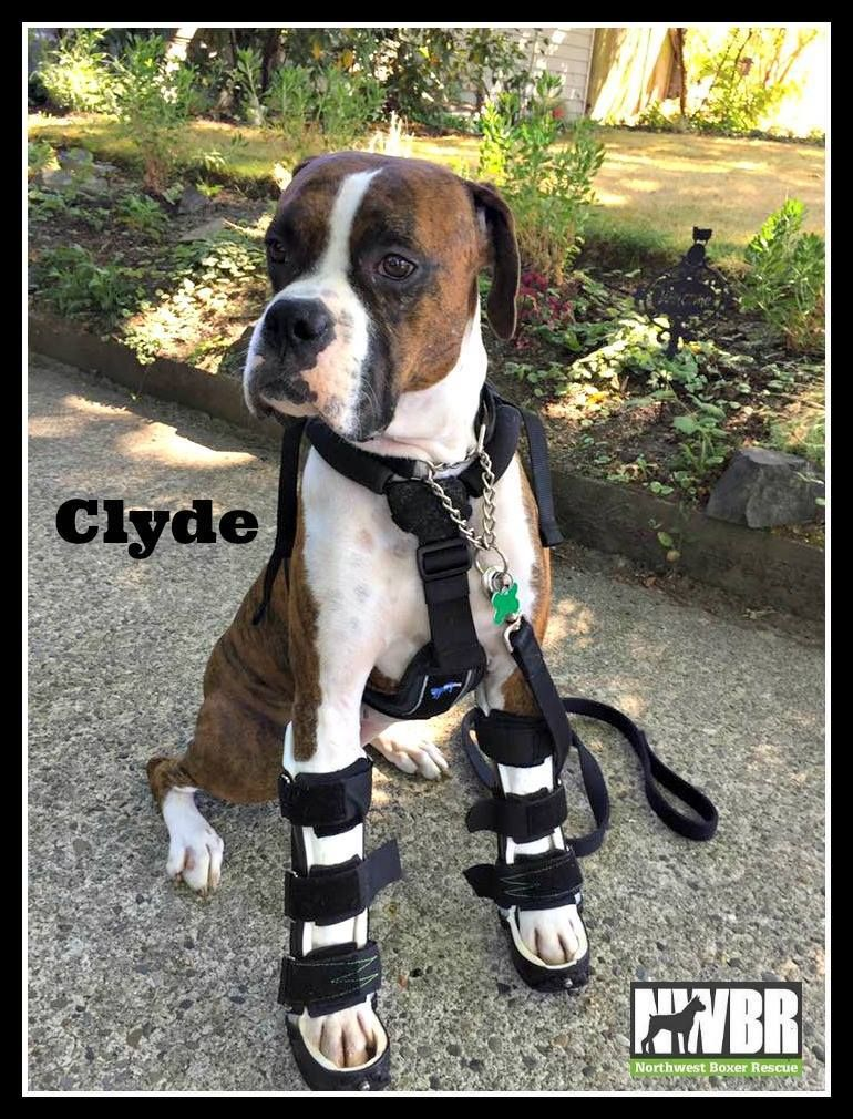Clyde Is An Adoptable Boxer Searching For A Forever Family Near Seattle Wa Use Petfinder To Find Adoptable Pets In Your Area Boxer Dog Care Dog Adoption Dogs