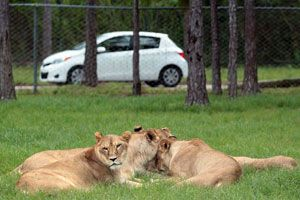 Lion Country Safari Florida Is Amazing In And Outside Your Car