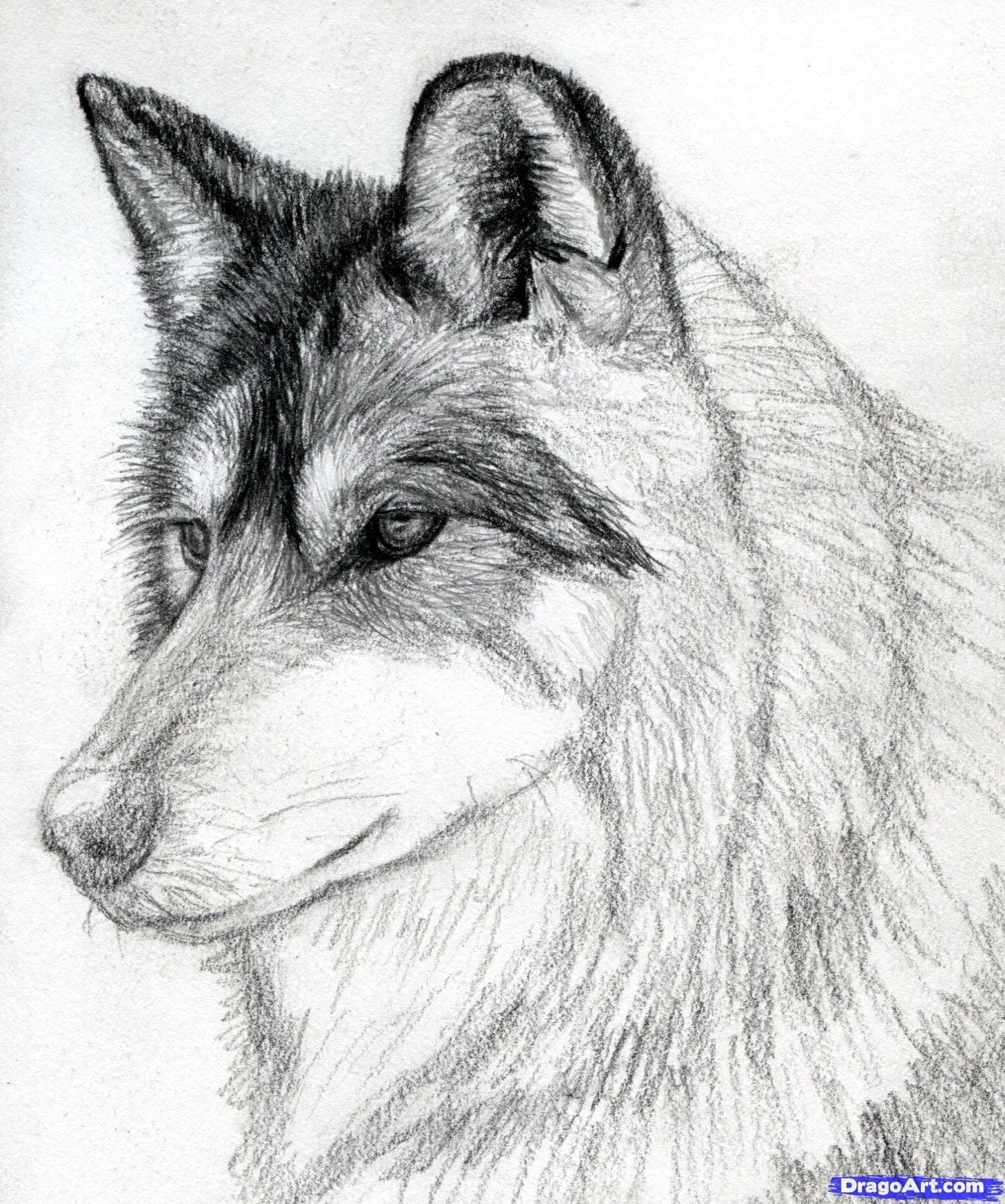 How to draw a wolf head mexican wolf step 12