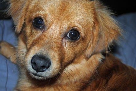 Charlie the Mixed Breed Dog Breed Chihuahua