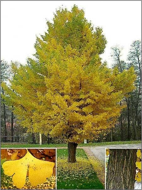 File:Maidenhair tree - detail - geograph.org.uk - 195161.jpg ...