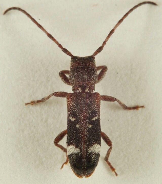 Psenocerus supernotatus-Currant-tip Borer